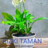 Tanaman Peace lily degan pot tawon 21cm sepatu filum sepatufilm