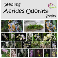 Seedling Aerides Odorata Bibit Anggrek Kuku Macan Wangi