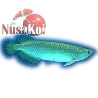 Ikan Arwana / Arowana Silver Irian / Papua 25 cm Murah