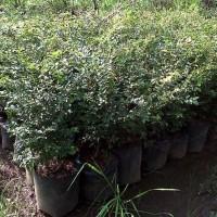 NEW 3 pcs bibit anggur brazil jaboticaba