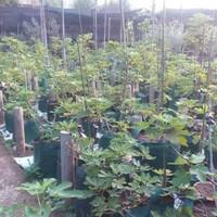 Bibit tanaman buah tin ara / fig / Black Mission