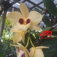 Dendrobium Gatton Sunray (super raksasa)