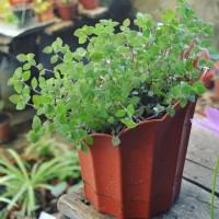 Hanging Plant Callisia repens