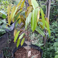Bibit durian Musang King - Pohon durian Musang King