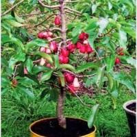 Bibit Jambu Bol Jamaica Jumbo Cepat Berbuah - Harga Petani