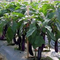 Bibit Tanaman Terong Ungu - Harga Petani