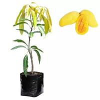 Paket Bibit Mangga chokana 25 pohon