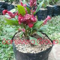 Bibit Taman kebun) Tanaman Hias Bunga Red Celosia Plumosa
