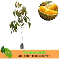 Tanaman Durian Musangking