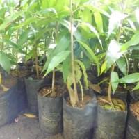 10 Bibit Pohon Glodok Tiang Murah