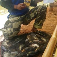 Jual Umpan Ikan Mas Harian Tanpa Kroto Essen Umpan Galatama Ikan Mas Sian Jakarta Barat Jual Tas Pancing Tokopedia