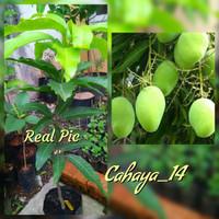 Bibit Pohon Mangga Indramayu