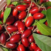 Bibit Miracle Fruit Unggul murah