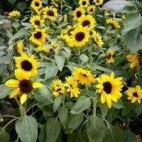 Bibit Tanaman Bunga Matahari Mini