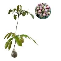 tanaman buah matoa