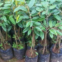 Bibit tanaman buah durian bawor kaki 3 kualitas super