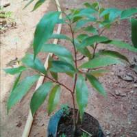 Bibit pohon gaharu aquilaria malaccensis super