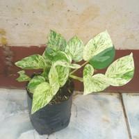 Sirih gading putih tanaman gantung dan rambat