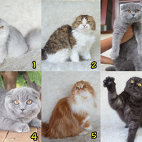 Harga Kucing Scottish Fold Travelbon.com