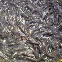"Bibit ikan lele sankuriang ""9-10cm"