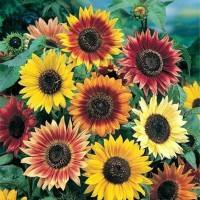 Benih Bunga Sun Flower Autumn Beauty - 10 Biji