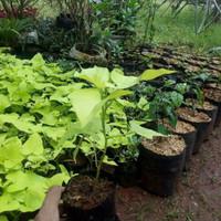 tanaman umbi/ubi kuning tanaman hias