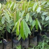 Bibit Durian Petruk Unggul Okulasi