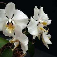 Bibit Tanaman Bunga Anggrek Bulan Putih