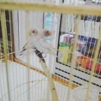 sepasang. love bird. BS. ( putih )