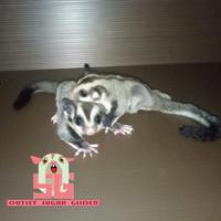 Harga hewan peliharaan sugar glider 1ekor jakarta gojek | Pembandingharga.com