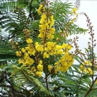 Jual 1 kg Benih Biji Pohon Bunga Flamboyan Kuning