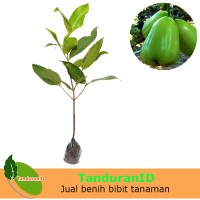 Tanaman Buah Jambu Air Super Green