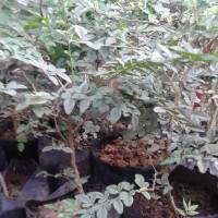 Tanaman Kebun Taman Bibit Kawista Unggul | Buah Kawista Langka