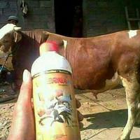 Penggemuk sapi