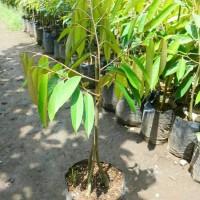 Paket Bibit Durian Montong, Musangking dan Bawor Kaki 3