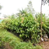 Tanaman Kebun Taman Bibit Kepel Super | Buah Burahol Super