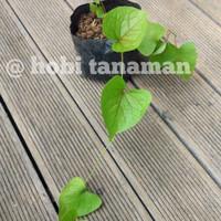 tanaman air mata pengantin/ hobi tanaman