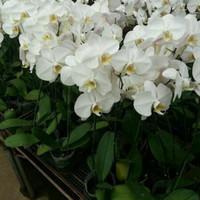 Bibit bunga anggrek bulan putih