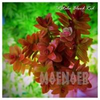 "Rotala rotundifolia ""blood red"""