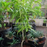 Bibit Pohon Daun Bunga Zodia Tanaman Pengusir Nyamuk
