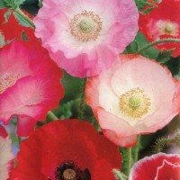 Benih Bunga Shirley Poppy Mixed Papaver Rhoeas English Poppy - 20 Biji