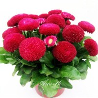 Benih Bunga English Daisy Merah Red Bellis Perennis - 50 Biji