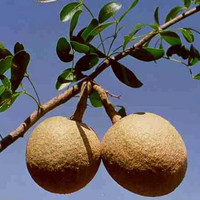 Biji benih buah kawis kawista