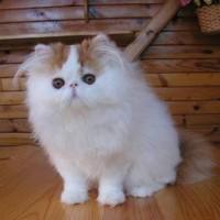 Harga Kucing Persia Pesek DaftarHarga.Pw