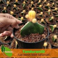 Tanaman Kaktus Lutea