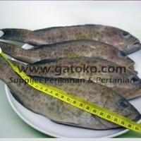 Harga Ikan Kerapu Per Kg Travelbon.com