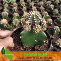 Tanaman Kaktus Green Siklam
