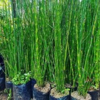 Promo Bibit Tanaman Hias Bambu Air bibit / biji / benih