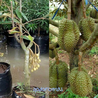 Bibit Durian siap berbuah tinggi 2m
