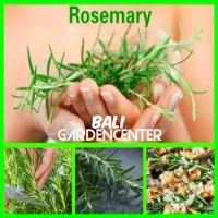 Benih Biji Rosemary Herbal Import